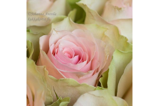 Ruusu 4071