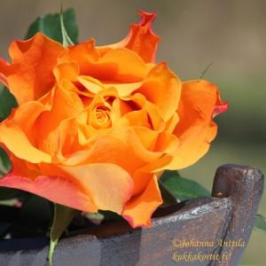 Ruusu 4081