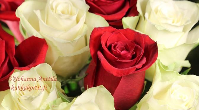 Punaiset ja valkoiset ruusut